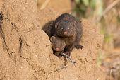 stock photo of dwarf  - Dwarf mongoose family enjoy the safety of their burrow - JPG