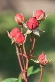 pic of rose bud  - Closeup bud of red rose - JPG