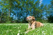 foto of cross-breeding  - Cross breed dog laying in grass and flowers - JPG