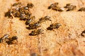 stock photo of working animal  - Busy bees close up view of the working bees - JPG