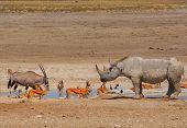 picture of rhino  - A busy waterhole in Etosha National park - JPG
