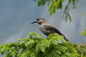 stock photo of nutcracker  - Nutcracker on the branch in natural environment
