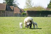 stock photo of spring lambs  - Spring lambs feeding with the mother sheep - JPG