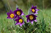 picture of rare flowers  - Group of purple pasque flowers in early springtime - JPG