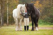 foto of shire horse  - Woman having fun with two shire horses - JPG