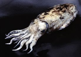picture of cuttlefish  - Natural Cuttlefish on black and wet backgroumd - JPG