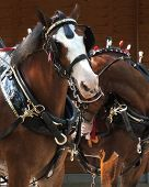stock photo of clydesdale  - Pair of Clydesdale draft horses in tack - JPG