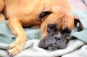 Cute Boxer Lying On Blanket poster