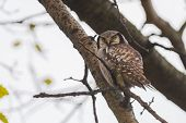 Постер, плакат: Northern Hawk owl