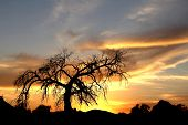 pic of mesquite  - Old Mesquite tree and the desert sunset - JPG