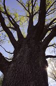 stock photo of centenarian  - Centenarian oak in early spring and beams penetrating through its branches - JPG