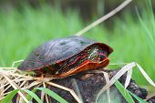 picture of winnebago  - Painted Turtle  - JPG
