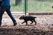 Little Rottweiler Shows Its Character Stubbornly Unwilling To Obey The Request Of The Owner. poster