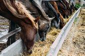 Herd Of Horses Eats Hay. Herd Of Beautiful Horses. Dinner. poster
