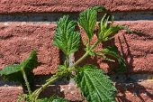 Stinging Nettle Against A Red Brickstone Wall On A Sunny Day poster