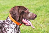 A Wonderful Young Dog Of Breed German Shorthaired Pointer, Portrait Of A Dog Close-up In Profile poster