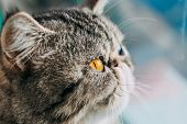 Exotic Shorthair Cat Breed Macro Photo. Eye Of A Cat Close Up poster