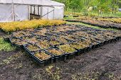Boxes With Seedlings Around The Greenhouse. Young Plants In Black Boxes. Growing And Planting Seedli poster