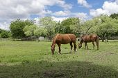 A Pair Of Beautiful Brown Horses Grazing On The Green Grass Of A Ranch Pasture With Trees And Fences poster