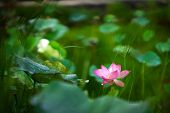 Beauty Pink Lotus Or Water Lily Is In Middle Lotus Pond. Lotus Field. The Background Is The Lotus Le poster