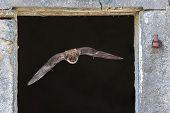 Natterers Bat Flying Through Window poster