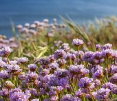 Pink Thrift Grows In Large Clumps On The Cliff Top At Bournemouth poster