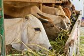 picture of feedlot  - White cow among brown other eating grass in livestock - JPG