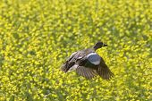 stock photo of pintail  - Pintail Duck in Flight against Canola Crop Canada - JPG