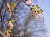 Close Up Of The Flowering Acer Negundo, Box Elder, Boxelder Maple, Ash-leaved Maple, Maple Ash, Elf, poster