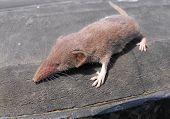 picture of shrew  - An Eurasian shrew posing on a tire - JPG