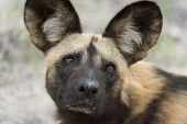 stock photo of vicious  - A portrait picture of an African Wild Dog - JPG
