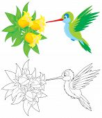 picture of colibri  - humming - JPG