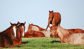 image of fillies  - A herd of American Quarter Horse yearling fillies napping on a spring morning at the Polo Ranch in Marietta  - JPG