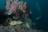 Golden Spadefish And Golden Rabbitfish By Diver