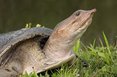 picture of carapace  - Florida Softshell Turtle warming in the sun - JPG