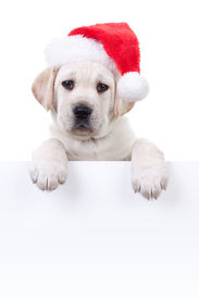 foto of puppy christmas  - Christmas Labrador puppy dog in santa hat holding up white sign or banner - JPG
