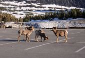picture of billy goat  - Mountain goats gathering in the parking lot - JPG