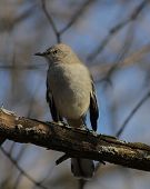 pic of mockingbird  - A Northern Mockingbird perched on a branch - JPG