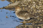 picture of pintail  - Northern Pintail - Anas acuta