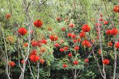 Chinese Red Lanterns Hanging On Trees