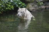 White Bengal Tiger Wading In Water