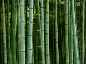 image of bamboo forest  - Peaceful bamboo grove in soothing green tones - JPG