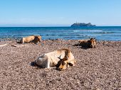 picture of sea cow  - Cows sitting in the mediterranean beach of Barcaggio - JPG