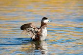 image of duck pond  - Ruddy Duck Displaying in a pond, Arizona, US ** Note: Soft Focus at 100%, best at smaller sizes - JPG