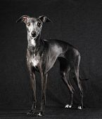 picture of greyhounds  - Adult Italian greyhound posing dark gray canvas background - JPG
