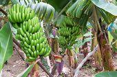 stock photo of bunch bananas  - Banana plantation at Madeira Island Portugal with ripe bananas - JPG