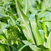 stock photo of corn stalk  - Bright green stalks of corn in a northern Illinois cornfield - JPG