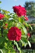 stock photo of climbing roses  - Red climbing rose blooms in the garden.