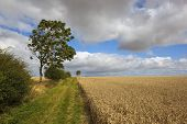 pic of windy  - hawthorn hedges and young ash trees by a farm track through golden ripe wheat fields on a windy day - JPG