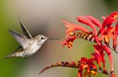 stock photo of hummingbirds  - Annas Hummingbird in flight Eying Crocosmia Flowers - JPG